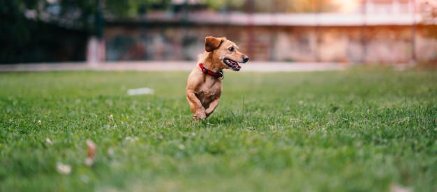 halsband hondje